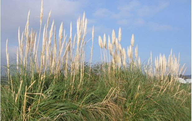 Pampa végétalisation